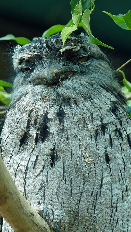 Tawny Frogmouth Detail immagine stock