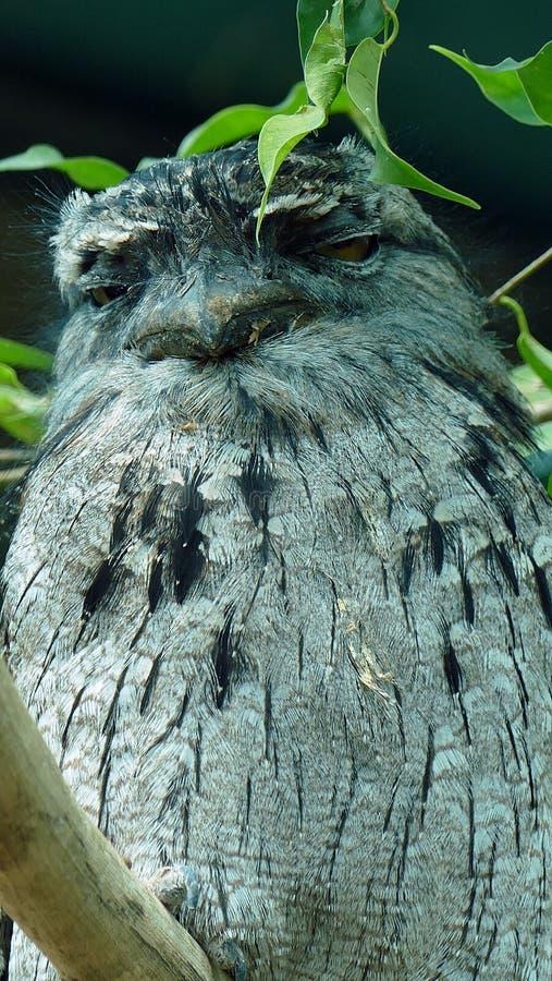 Tawny Frogmouth Detail imagen de archivo