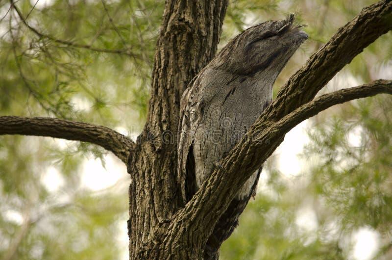 Tawny Frogmouth di riposo fotografie stock