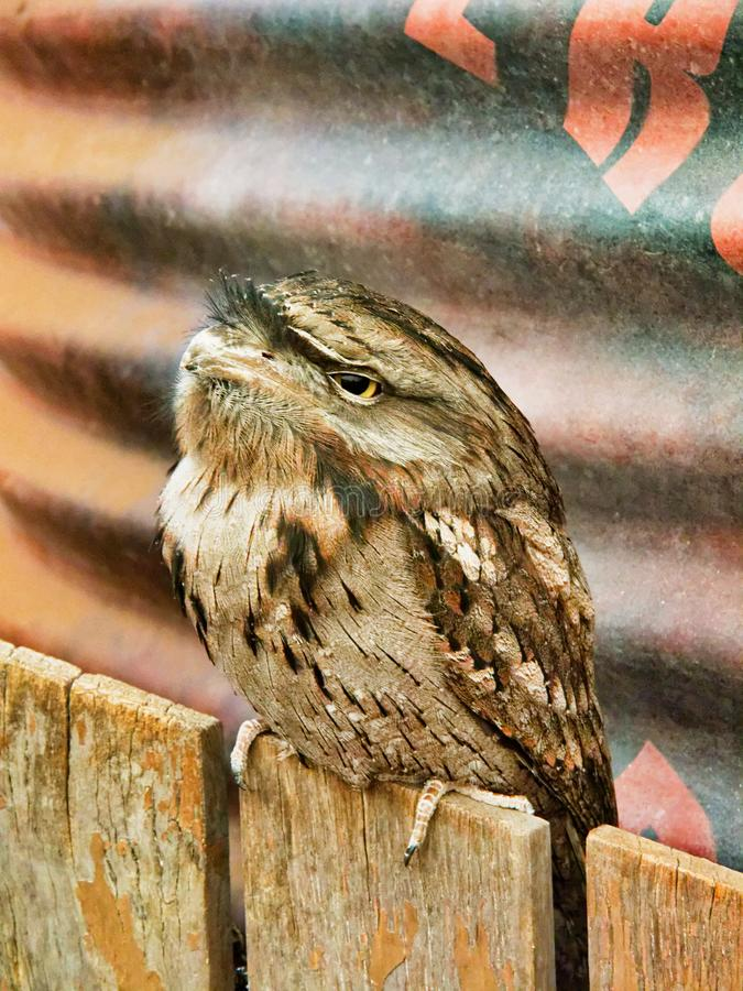 Tawny Frogmouth, Native Australian Bird, Wildlife Sanctuary. A small Australian native Tawny Frogmouth bird, Podargus strigoides, perched at a wildlife reserve royalty free stock photo
