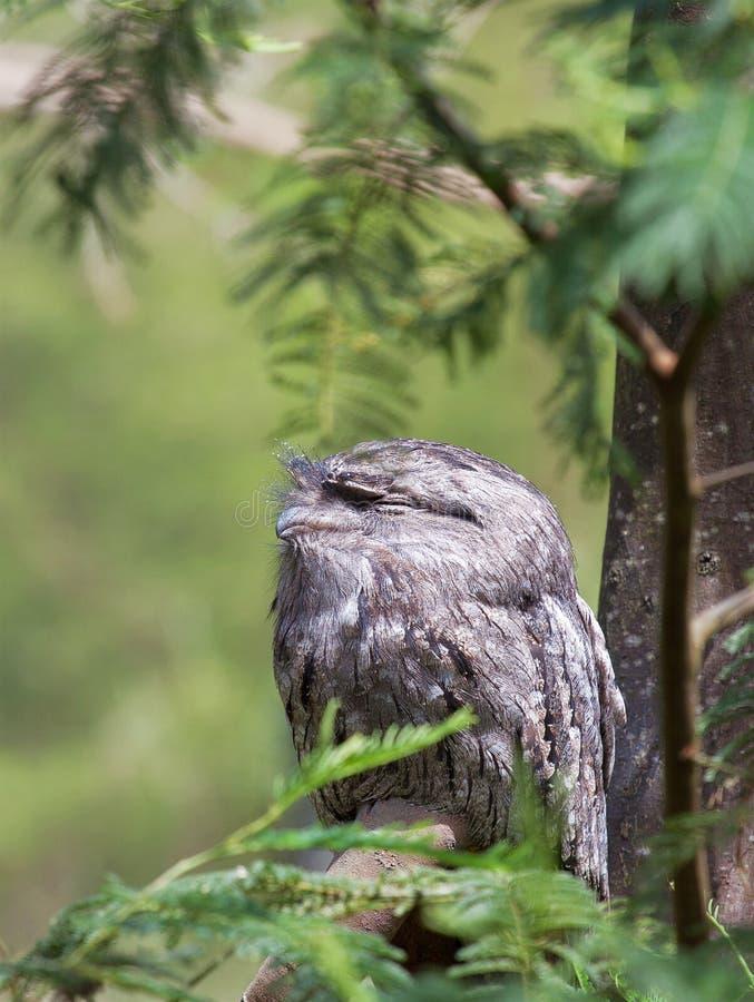 Tawny Frogmouth obsiadanie na gałąź w lesie fotografia royalty free