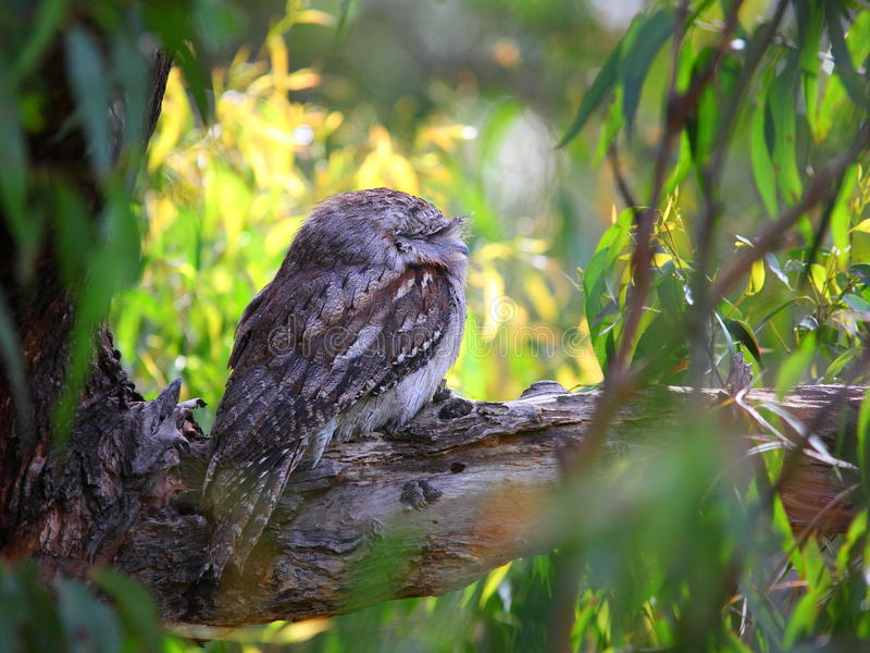 Tawny Frogmouth owl fotografering för bildbyråer