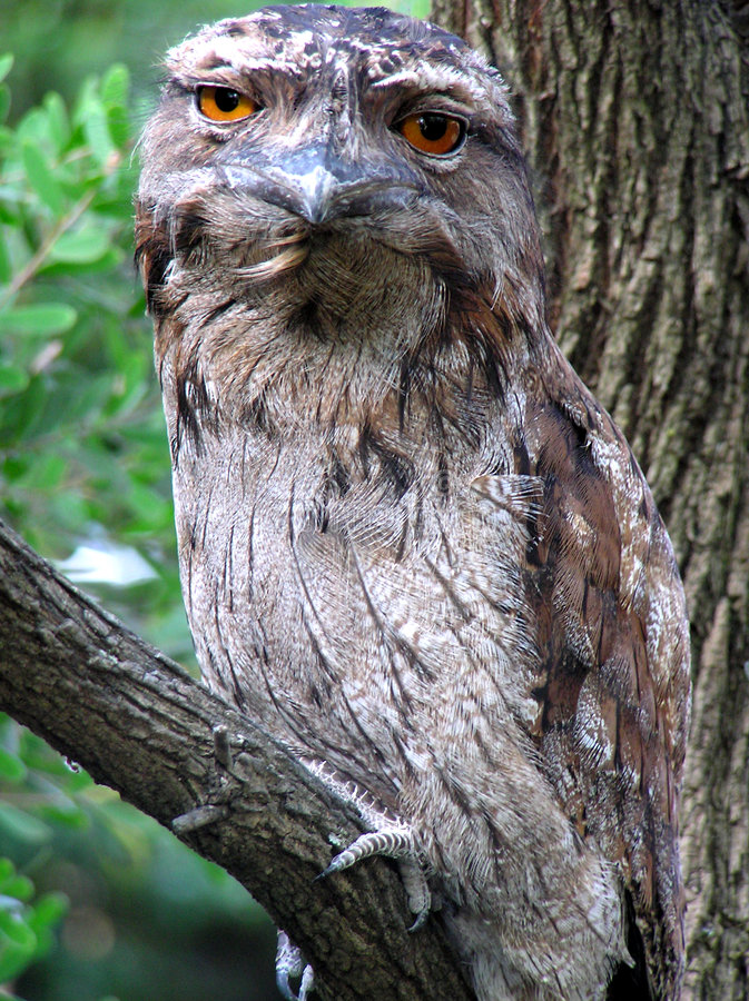 Download Tawny Frogmouth Owl stock photo. Image of nocturnal, eyes - 296580