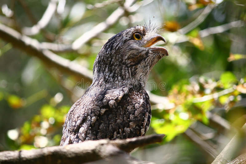 Download Tawny frogmouth owl stock photo. Image of bird, frogmouth - 8883120