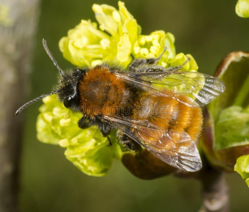 Tawny Mining Bee sull'albero di fioritura del acer immagine stock