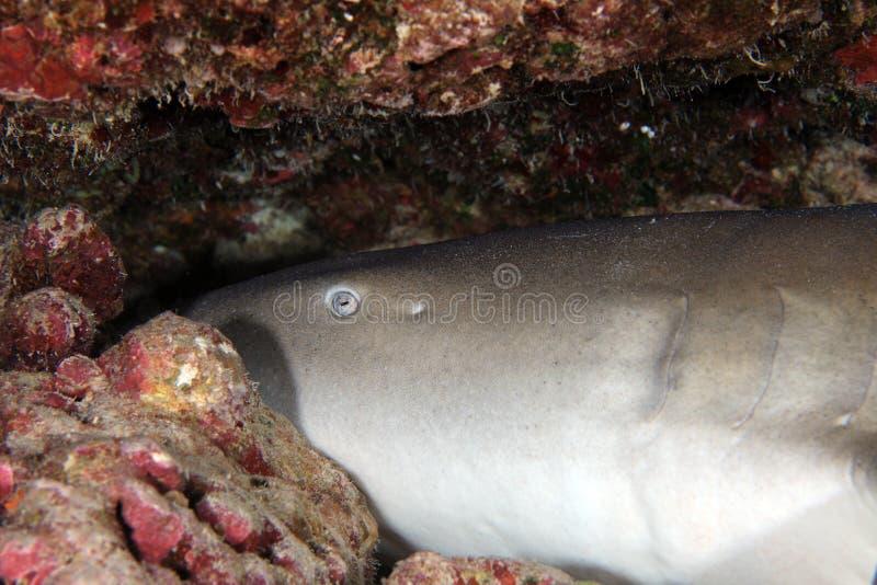 Tawny nurse shark royalty free stock image