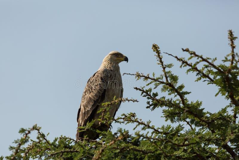 Tawny orła obsiadanie w drzewie zdjęcia stock