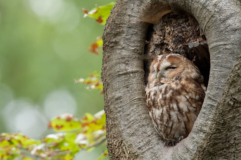Tawny Owl. A Tawny Owl sitting in its burrow and enjoying the sun
