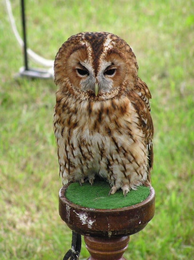 Download Tawny Owl stock photo. Image of avian, talons, claws, beak - 150452