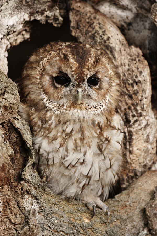 Download Tawny owl stock photo. Image of perched, prey, raptor - 22263290
