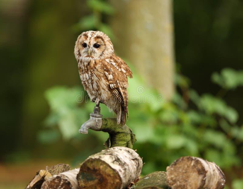Tawny Owl Stock Photos