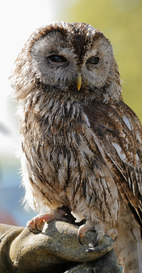Download Tawny Owl Royalty Free Stock Photos - Image: 2992188