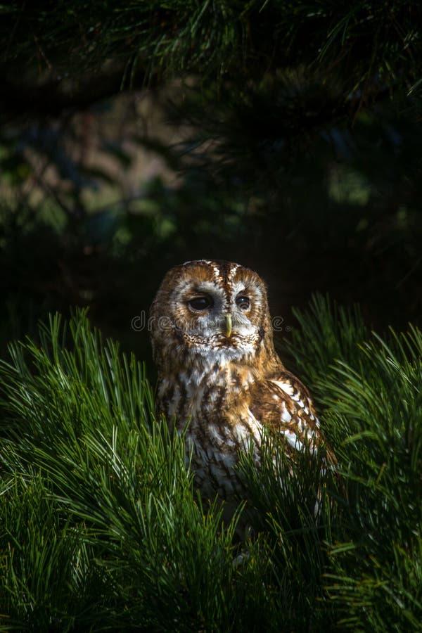 Tawny Owl foto de archivo libre de regalías