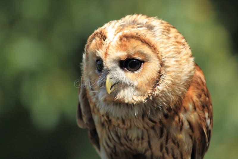 Tawny Owl arkivbilder