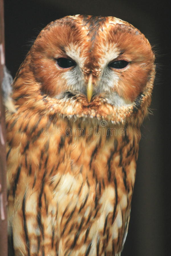 Tawny Owl fotos de stock