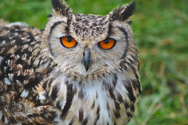 Tawny Owl foto de stock