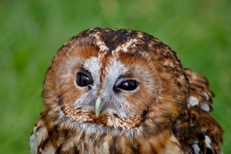 Tawny Owl foto de stock royalty free
