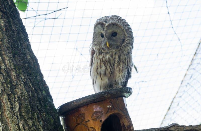 Tawny Owl stock afbeelding