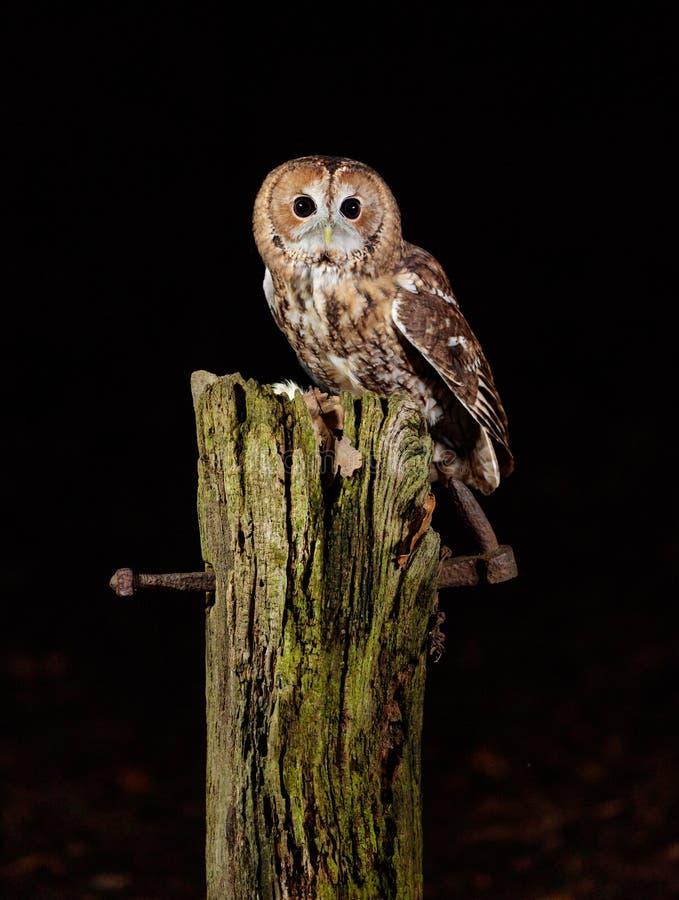 Tawny Owl fotografia de stock royalty free