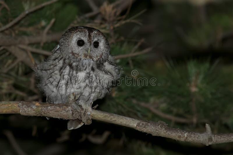 Tawny Owl fotos de stock royalty free