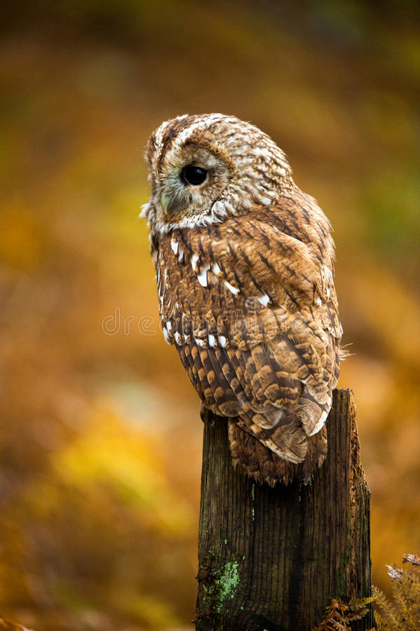 Tawny Owl. Against a background of burnt orange autumn bracken stock photo