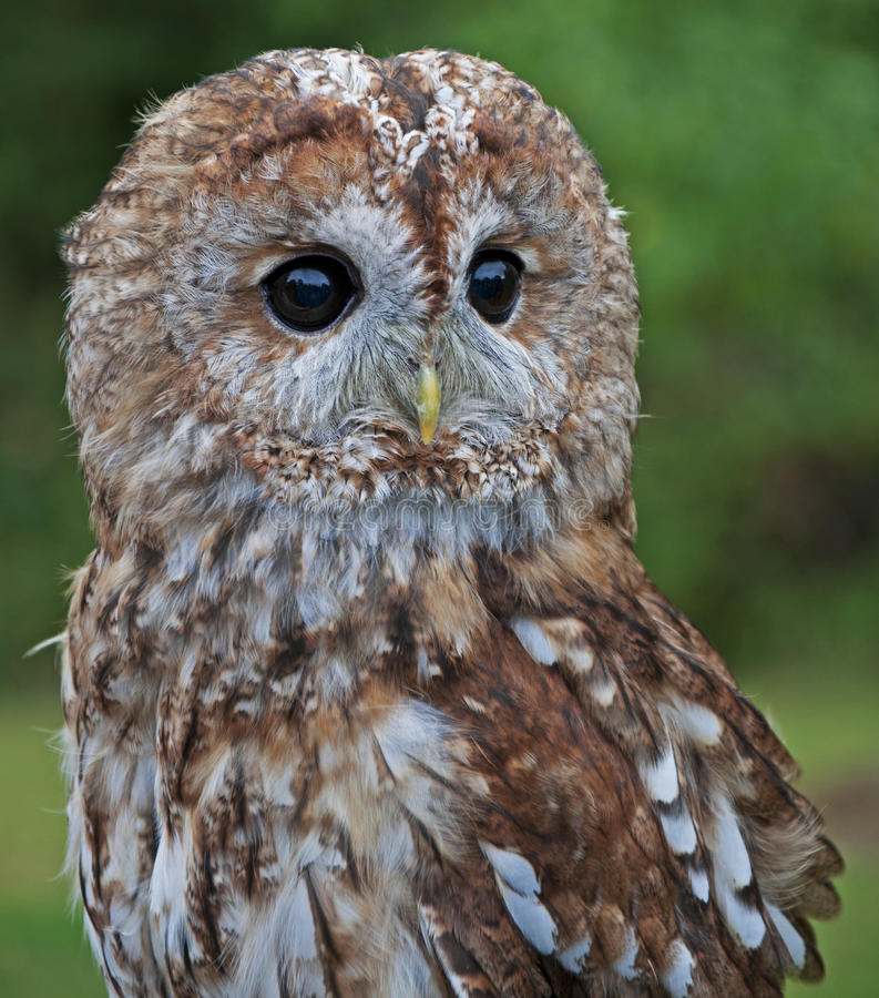 A Tawny Owl on alert stock photography