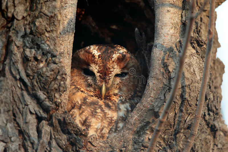 Tawny Owl, aluco do Strix, senta-se em um furo em uma árvore velha imagem de stock royalty free