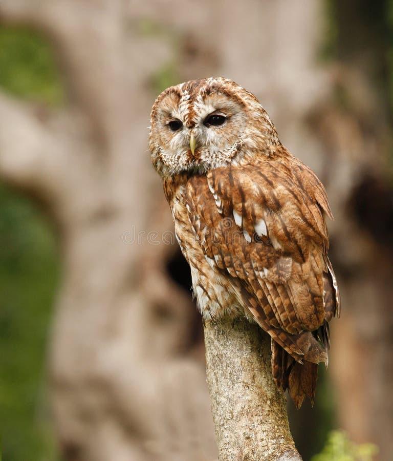 Tawny Owl appollaiato immagine stock