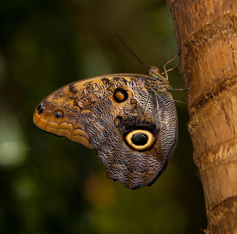 Tawny Owl Butterfly stock image