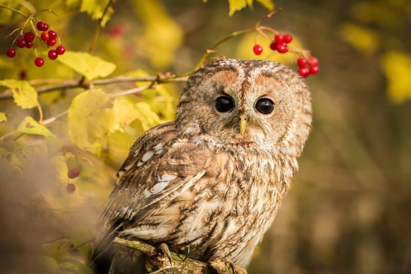 Tawny Owl, der auf einer Niederlassung sitzt stockfoto