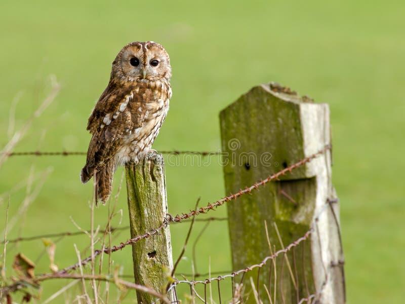 Tawny Owl on fence stock image
