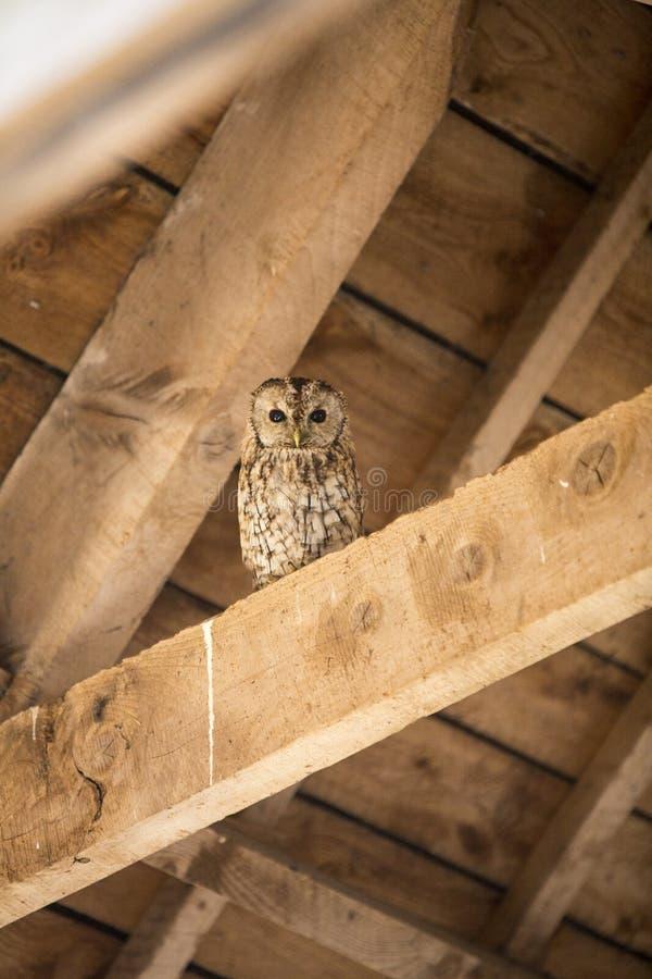 Tawny Owl i ladugård royaltyfri bild