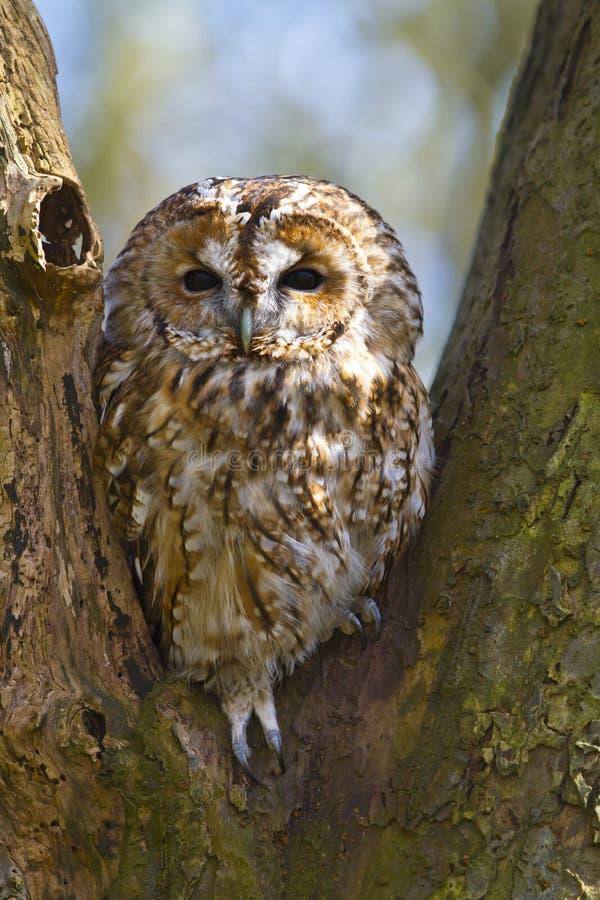 Free Tawny Owl In Tree Stock Photos - 19015283