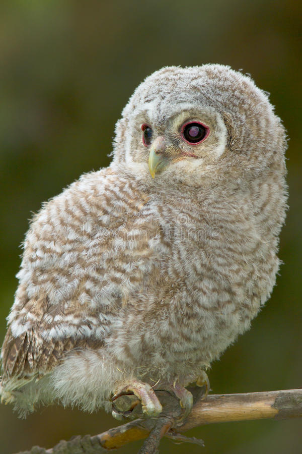 Download Tawny Owl, Juvenile / Strix Aluco Stock Image - Image of howlet, carnivore: 19480059