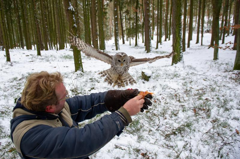 Tawny owl landing on falconers arm in the winter inside forest. Falconer in action stock images