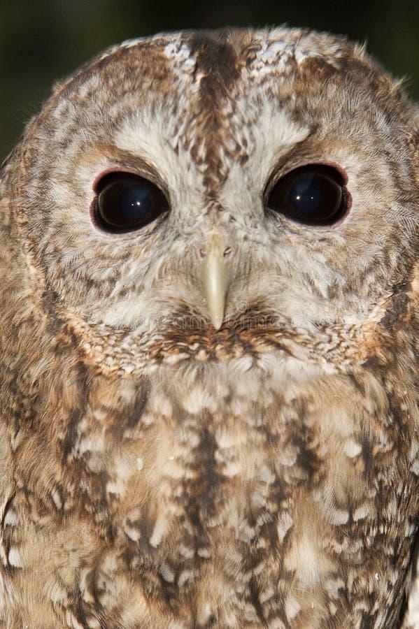 A Tawny owl, Strix aluco stock photo