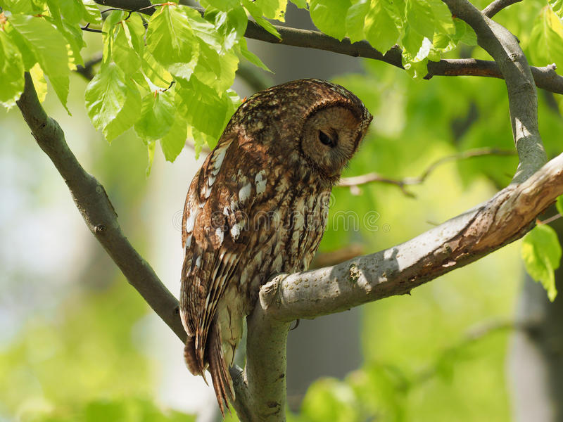 Tawny Owl. Resting on a branch in the forest royalty free stock photo
