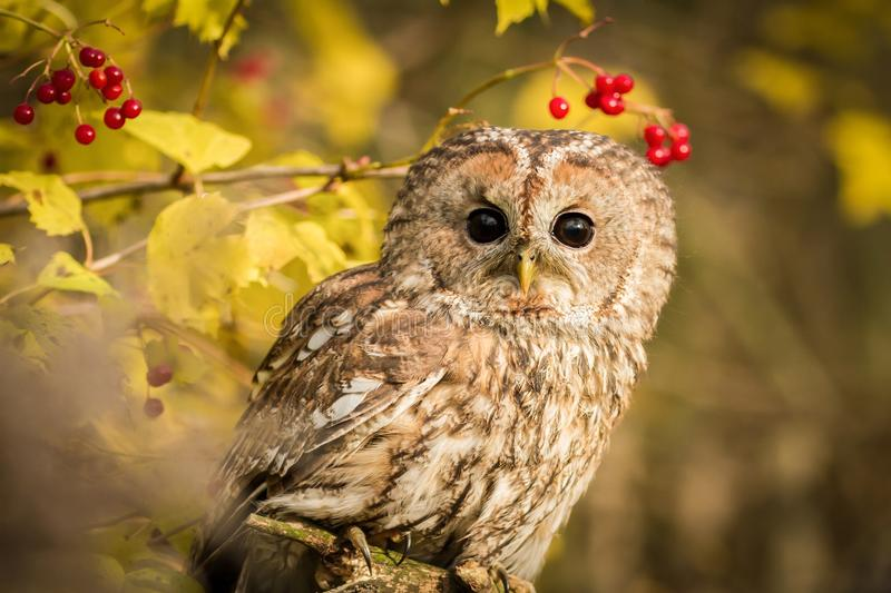 Tawny Owl sitting on a branch stock photo