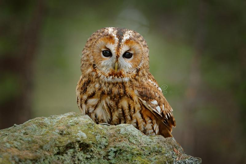 Tawny owl sitting on the stone n forest. Clear green background. Beautiful animal in the nature. Bird in the Sweden forest. Wildlife scene from dark spruce royalty free stock images