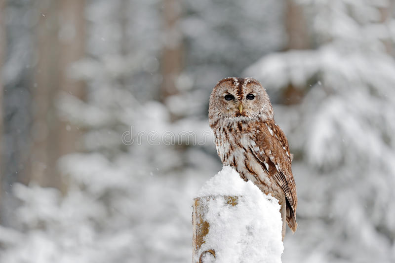 Tawny Owl snow covered in snowfall during winter, snowy forest in background, nature habitat. Wildlife scene from Slovakia. Cold w. Inter royalty free stock photography