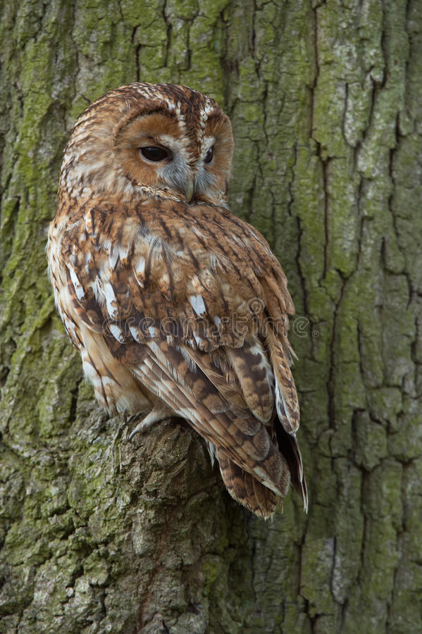 Tawny Owl Strix Aluco. Tawny Owl perched in large Oak tree stock images