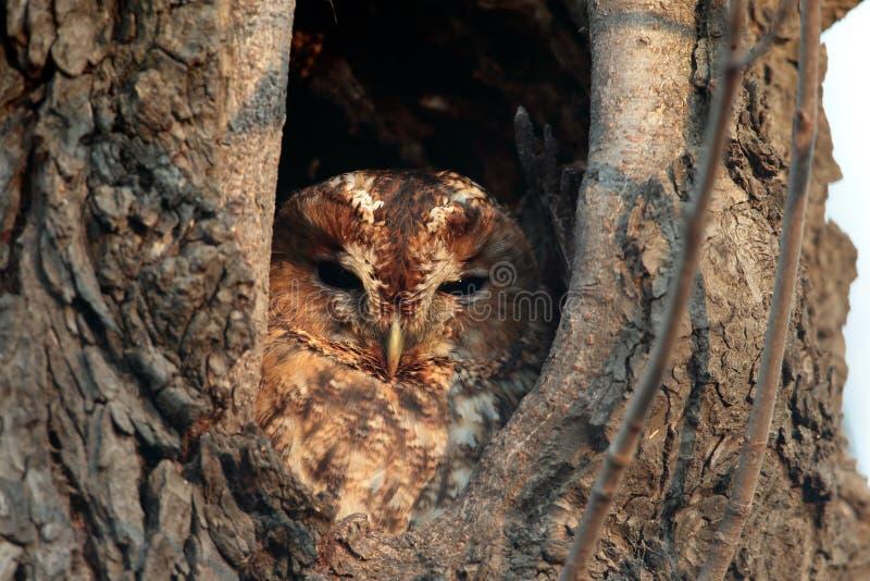 Tawny Owl Strixaluco, sitter i ett hål i ett gammalt träd royaltyfri bild