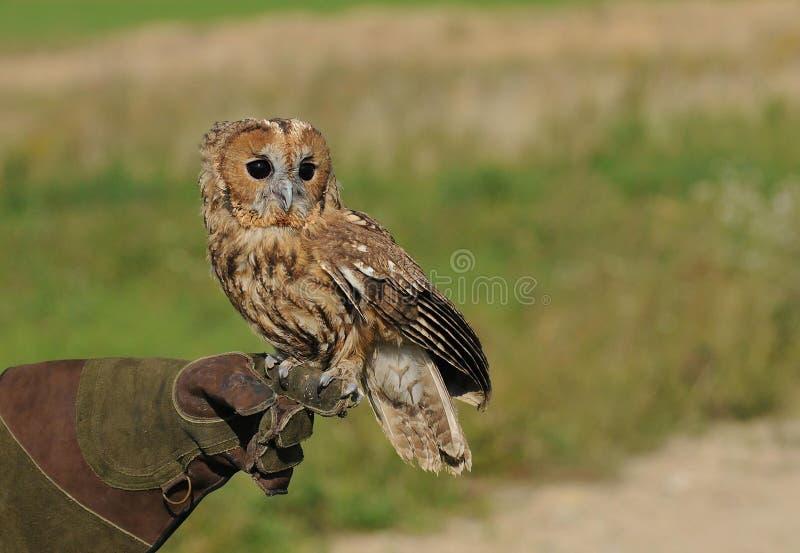 Tawny Owl. Tame Tawny Owl sitting on gloved hand stock photo