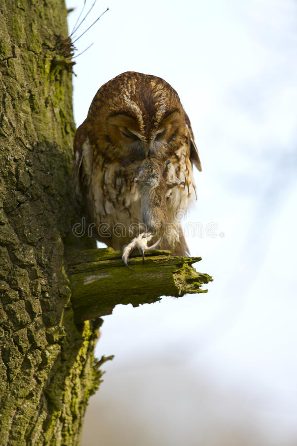 Free Tawny Owl With Prey Stock Photography - 19016172