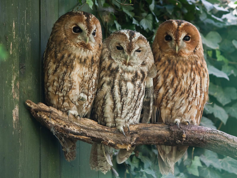 Download Tawny Owls Royalty Free Stock Photos - Image: 21440158