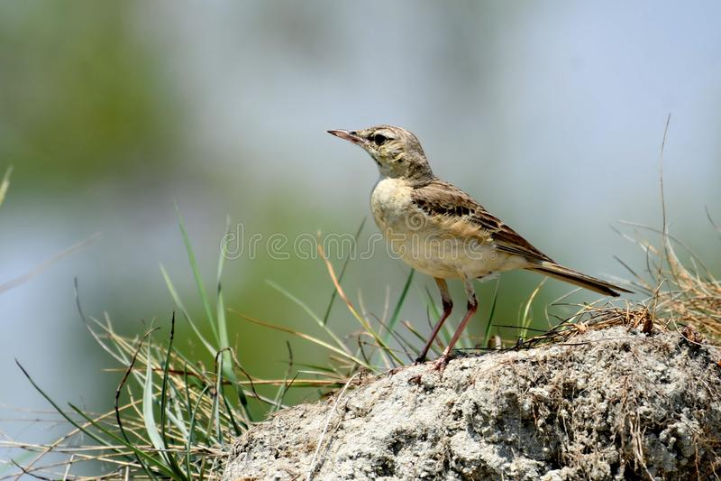 Tawny Pipit Anthus-campestris stock afbeelding