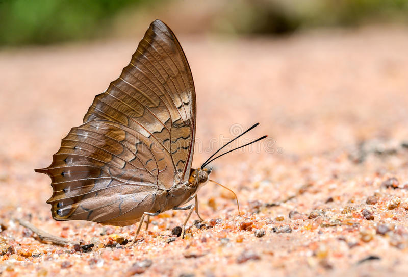 Tawny Rajah butterfly consume minerals close up. Tawny Rajah butterfly consume minerals royalty free stock photo