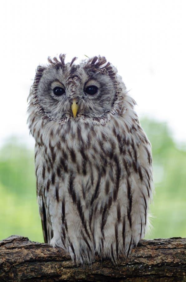 Tawny sowy obsiadanie na gałęziastej patrzeje kamerze fotografia royalty free