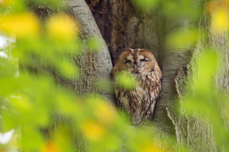 Tawny sowy obsiadanie w gniazduje dziurze w drzewnym Strix aluco obraz royalty free