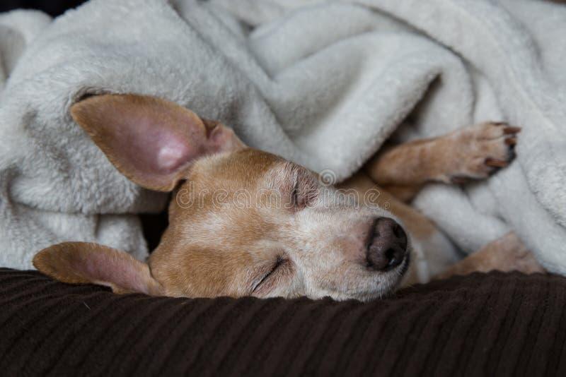Tax- och Chihuahuablandning arkivbild